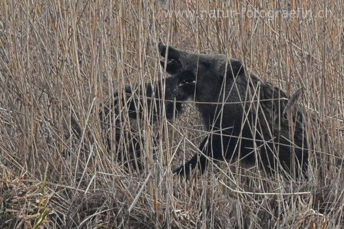 Wild Boar  - Margrit Marti