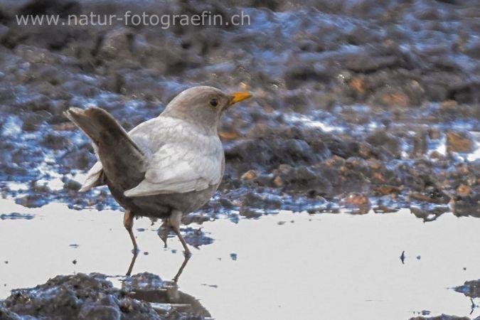 Eurasian Blackbird  - Margrit Marti