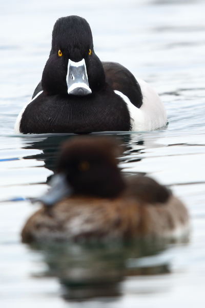 Ring-necked Duck  - Pascal Marti