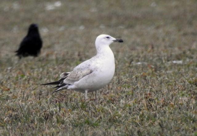Caspian Gull  - Jean-Claude Muriset