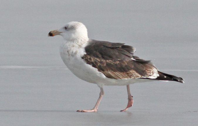 Great Black-backed Gull  - Jan Bisschop