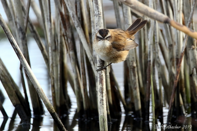 Moustached Warbler  - Heinz Rothacher