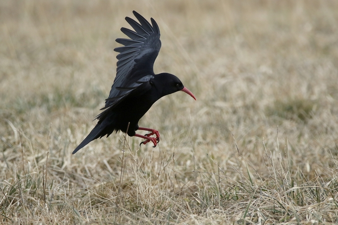 Red-billed Chough  - Heinz Rothacher