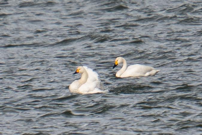 Bewick's Swan  - Adrian Schmid