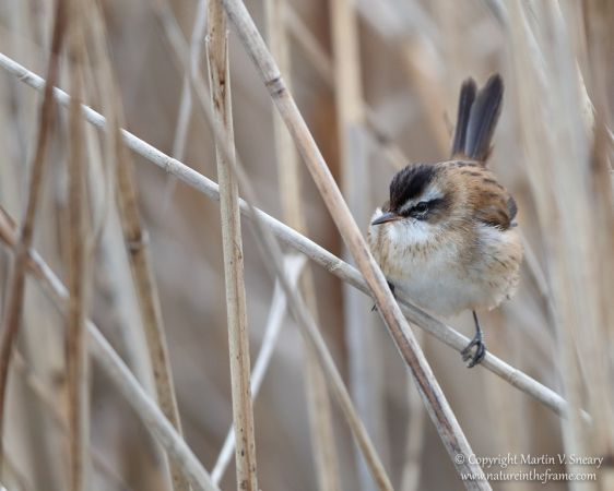 Moustached Warbler  - Martin Sneary