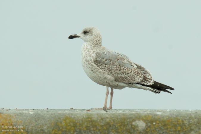 European Herring Gull  - Jonas Landolt