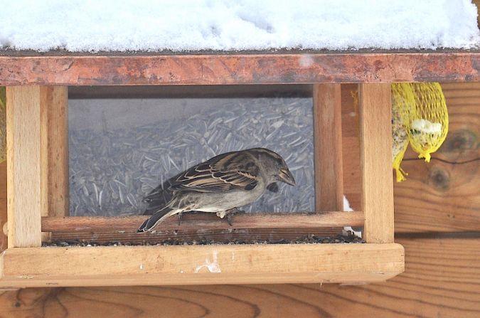 Italian x House Sparrow  - Pellegrini Renato