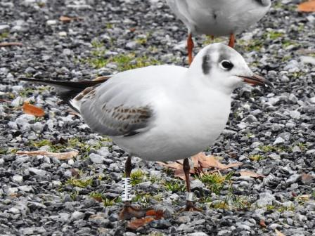 Black-headed Gull  - Kurt Anderegg