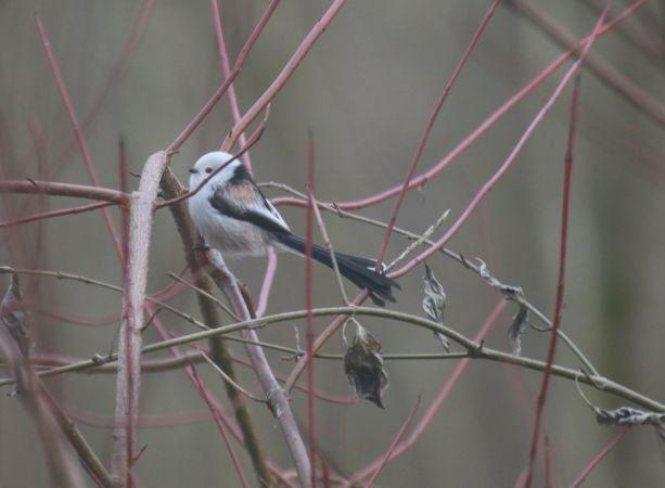 Northern Long-tailed Tit (A.c.caudatus)  - Nicolas Baiker