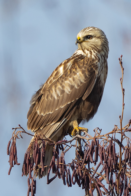 Rough-legged Buzzard  - Patrick Donini
