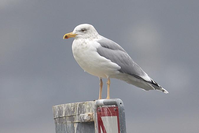 European Herring Gull  - Werner Suter