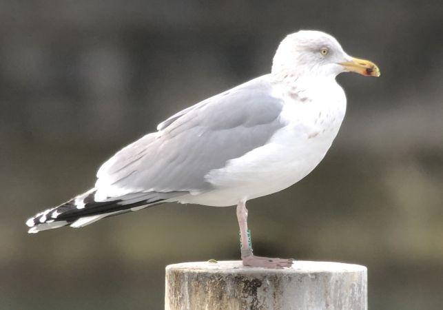 European Herring Gull  - Simon Hohl