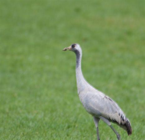 Common Crane  - Ernst Spychiger