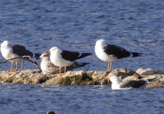 Baltic Gull  - Jean-Claude Muriset