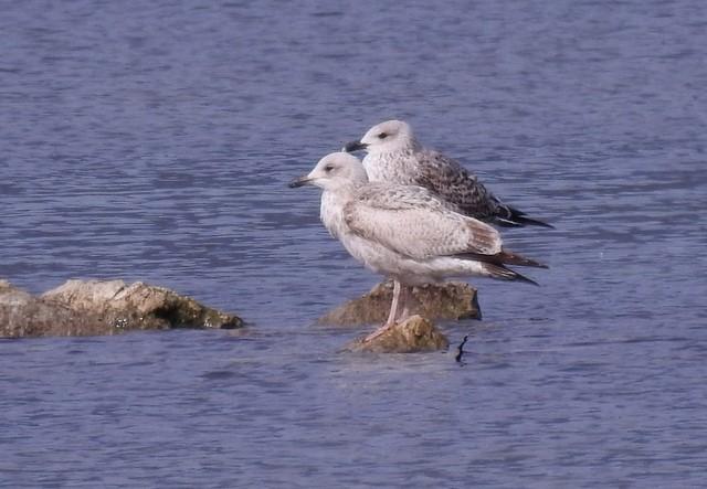 European Herring Gull  - Jean-Claude Muriset