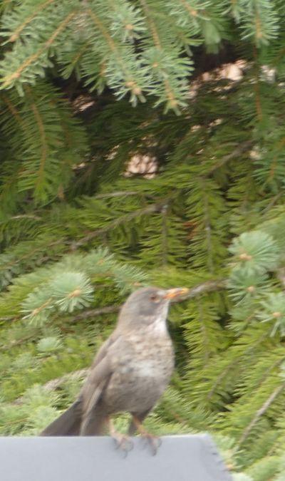 Eurasian Blackbird  - Violetta Fontana