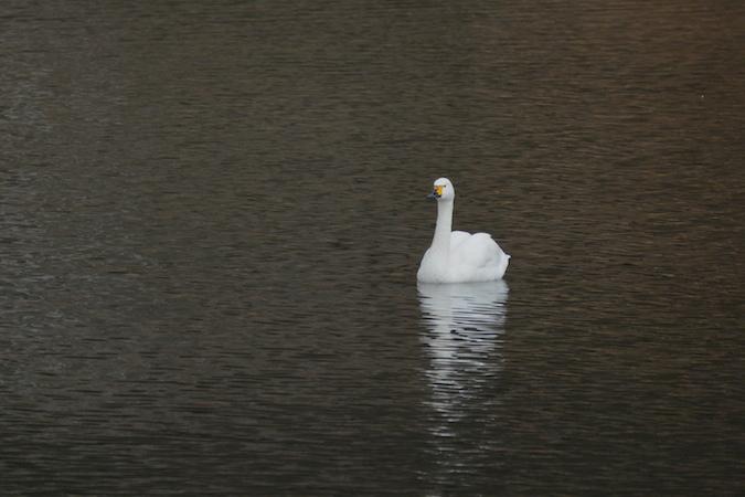Bewick's Swan  - Sophie Marti