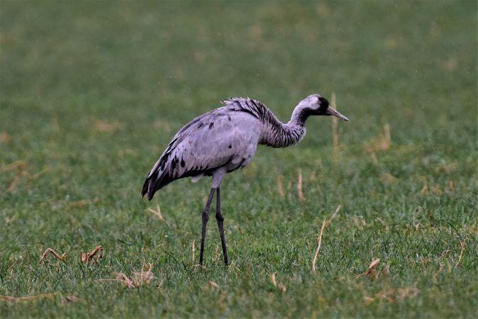 Common Crane  - Karl Koch