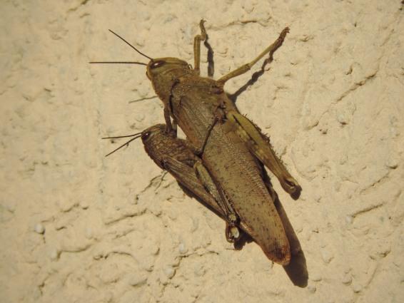 Egyptian Grasshopper  - Marina Pestoni