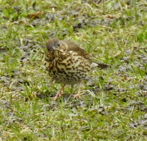 Song Thrush  - Martin Wittwer