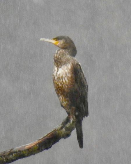 Great Cormorant  - Martin Wittwer