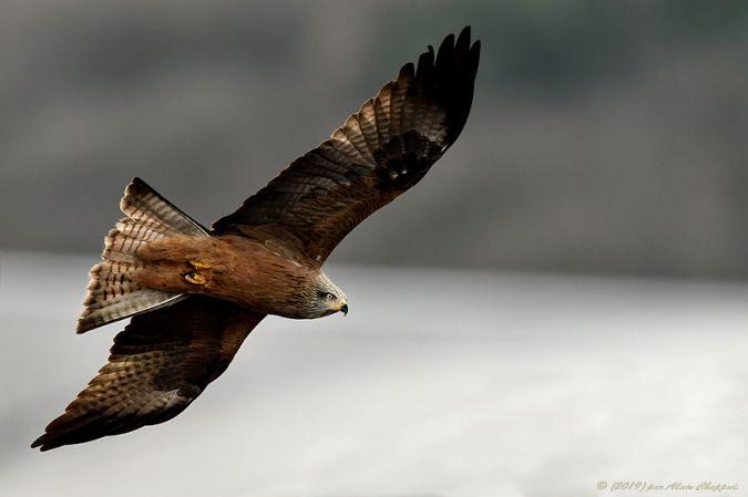 Black Kite  - Alain Chappuis