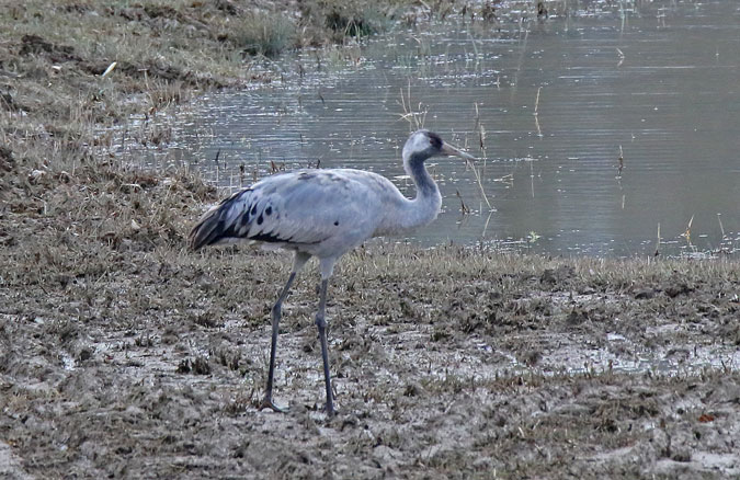 Common Crane  - Eric Sauser