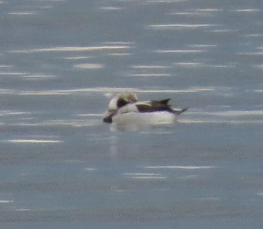 Long-tailed Duck  - Tom Chadwick