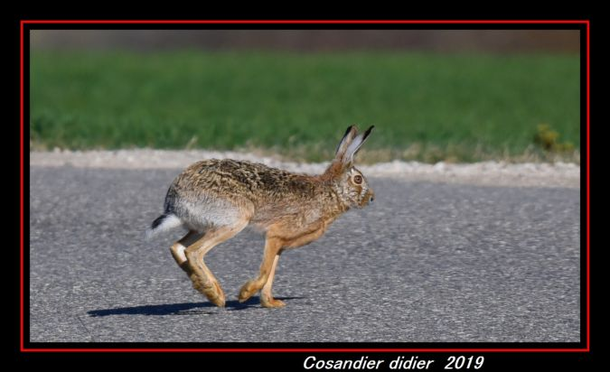 Lièvre d'Europe  - Didier Cosandier
