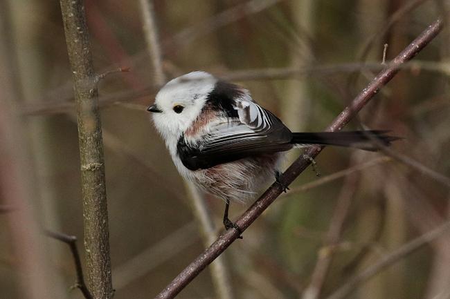 Northern Long-tailed Tit (A.c.caudatus)  - Pascal Rapin