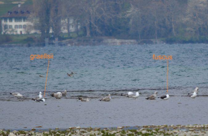 Baltic Gull  - Albert Bassin