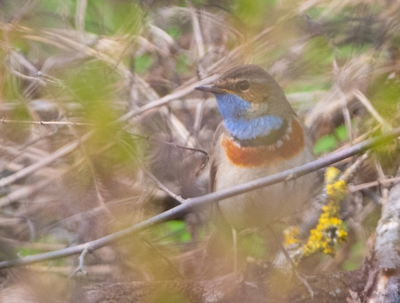 Bluethroat  - Simon Von Dach