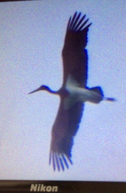 Black Stork  - Simon Keller