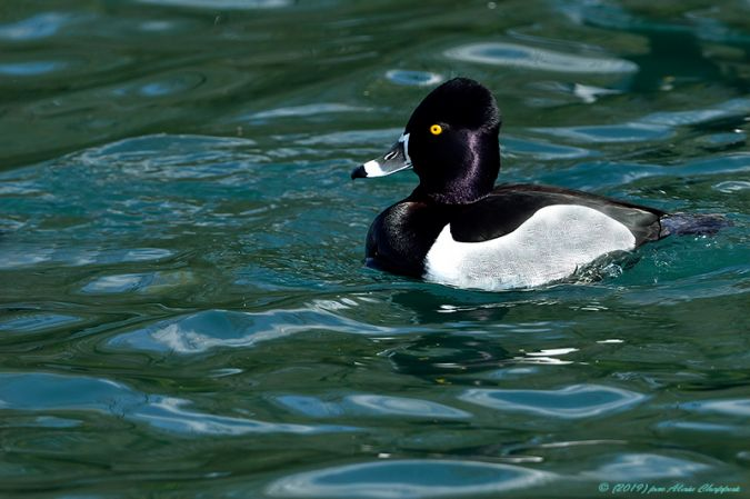 Ring-necked Duck  - Alain Chappuis