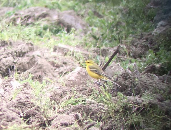 British Yellow / Yellow-headed Wagtail  - Simon Stricker