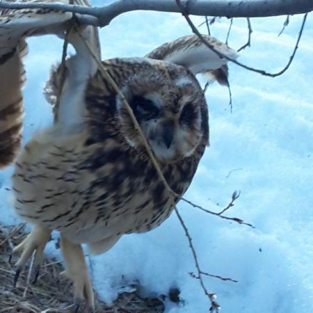 Short-eared Owl  - Wh Jon Gross
