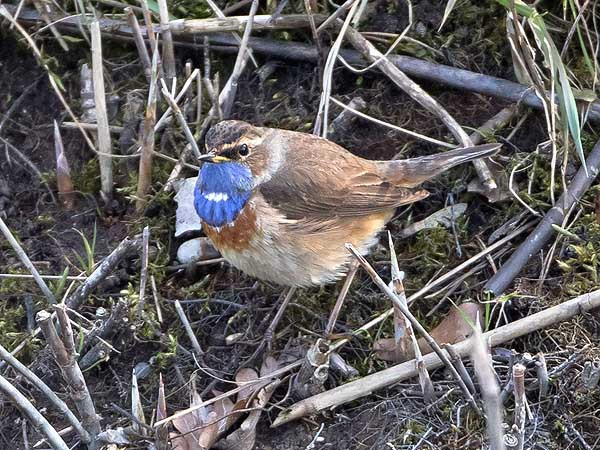 White-spotted Bluethroat  - Bernhard & Edith Herzog