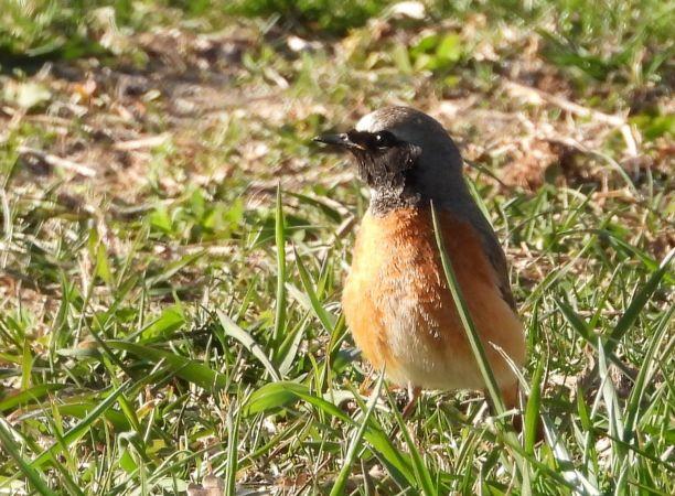 Common Redstart  - Eliane Carthoblaz