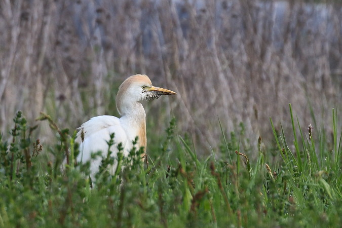 Cattle Egret  - Vasco Gonçalves-Matoso