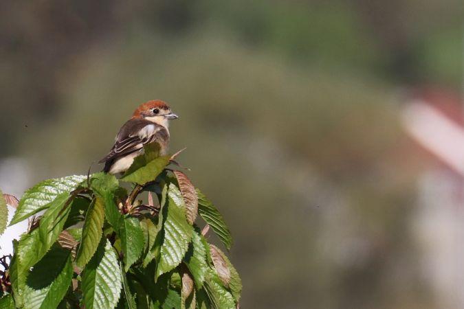 Woodchat Shrike  - Dominic Eichhorn