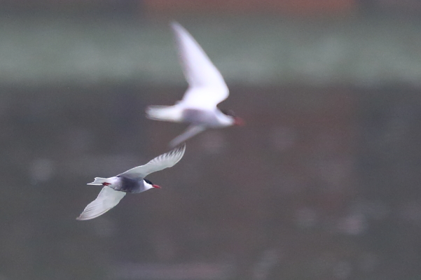 Whiskered Tern  - Pascal Marti