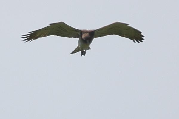 Short-toed Snake-eagle  - Pascal Marti