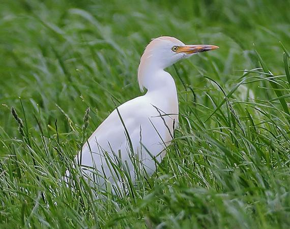 Cattle Egret  - Tobias Jonas