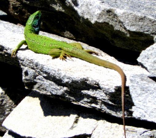 Western Green Lizard  - Eli Mordasini