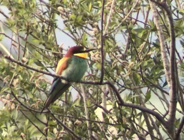 European Bee-eater  - Bernhard Obrecht