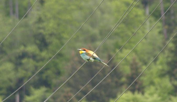 European Bee-eater  - Jörg Meier