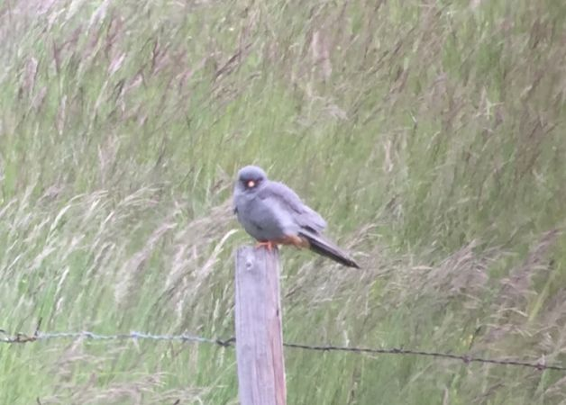 Red-footed Falcon  - Dominic Frei