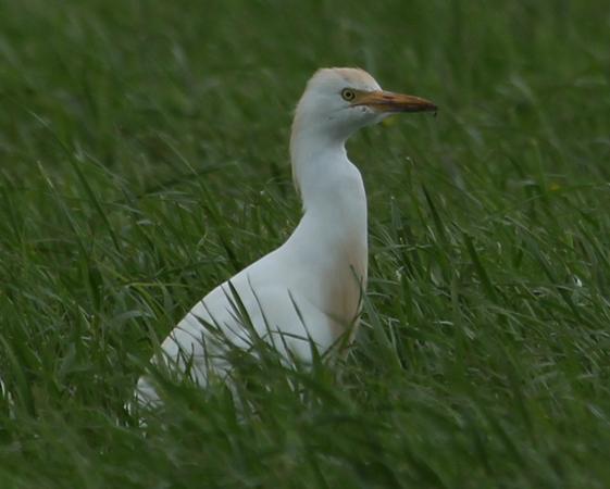 Cattle Egret  - Bela Andraskay