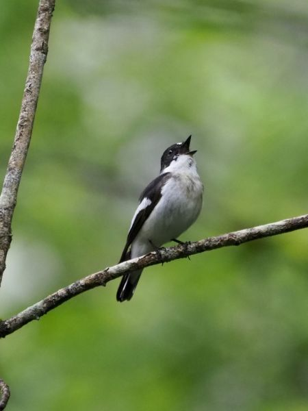 Collared Flycatcher  - Franco Cappelletti