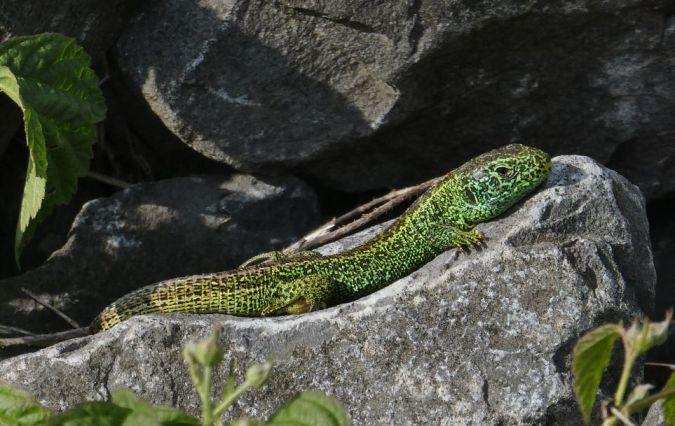 Sand Lizard  - Daniel Kronauer
